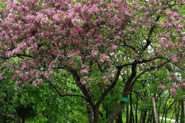 Koristeomenapuut (eri lajikkeita)