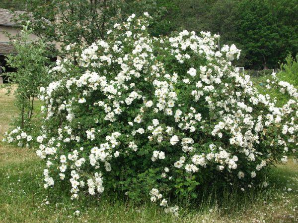 Pimpinellifolia 'Plena'