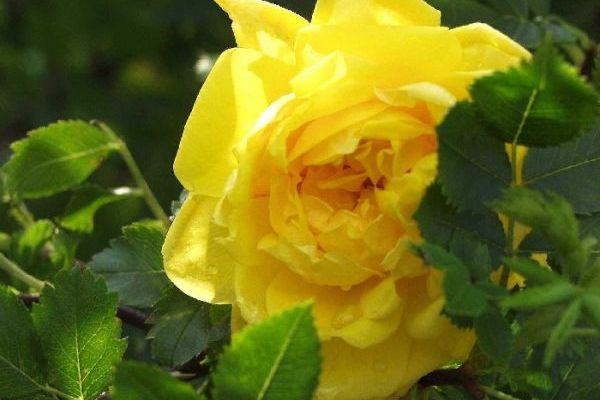 Foetida 'Persion Yellow'