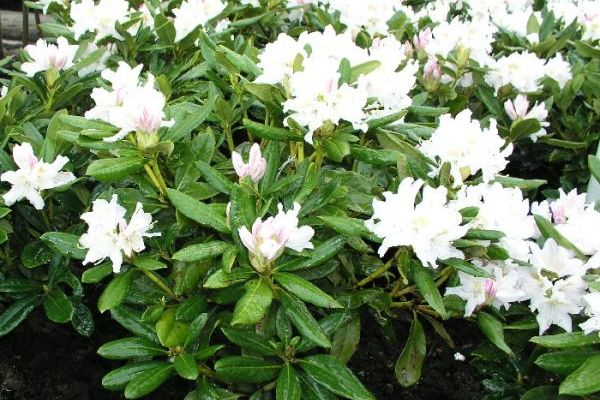 Rhododen. Gunninghams White